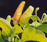 Capsicum Frutescens - Tabasco Yellow